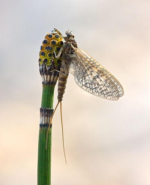 Mayflies Life Cycle
