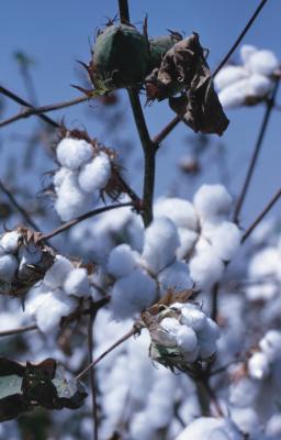 Insekter som ødelegger Cotton Avlinger i Alabama