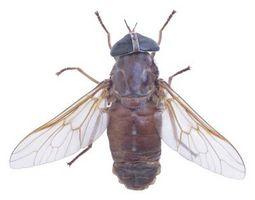 Hva kan jeg bruke som agn for å tiltrekke seg fluer?