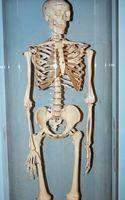 Slik finner du ut en Human Skeleton