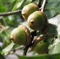Hva er eiketrær brukes til?