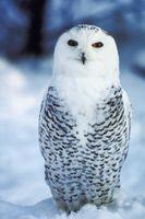 Hvilke funksjoner av Optic Lobe i Birds?