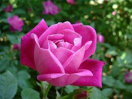 Hvordan virker en Rose gå sovende?