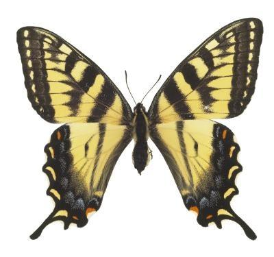 Eastern Tiger Swallowtail Informasjon