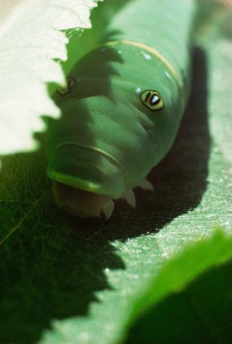 Hvordan identifisere larver i Ohio