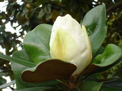 Evergreen Magnolia Planter