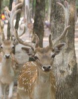 Hva er årsaken til Odd-formet Deer Antlers?
