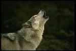 Hvordan Wolves Kommun Do?