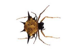 Hvordan å identifisere edderkopper av deres egenskaper