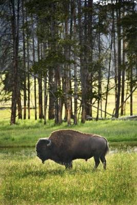 Typer Bison