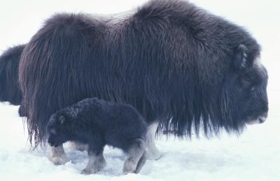 Hva er tilpasninger av innfødte dyr i Tundra?