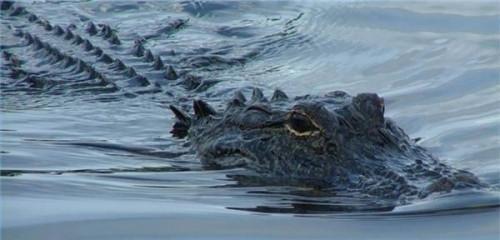 Hvordan Alligators Mate Do?