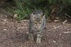 Science Fair Ideer om katter