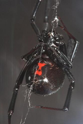 Hvordan å identifisere giftige edderkopper