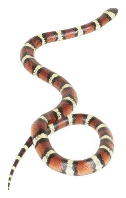 Hvordan identifisere Red, Black and White Snake Arter i Central Valley i California
