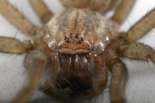 Hvordan å identifisere edderkopper i Utah