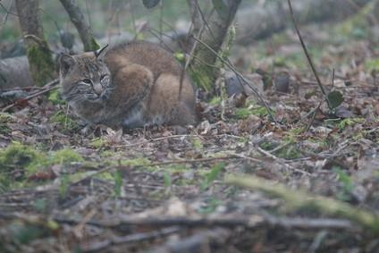 Hvordan skremme en Bobcat Away
