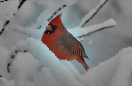 Hvordan identifisere Wild Birds of Northeastern Ohio