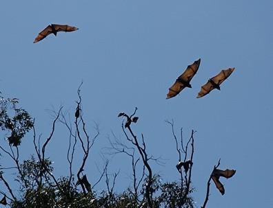 Hva er noen fakta om Flying Foxes?