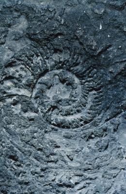 Typer av fossiler som er funnet i Rock