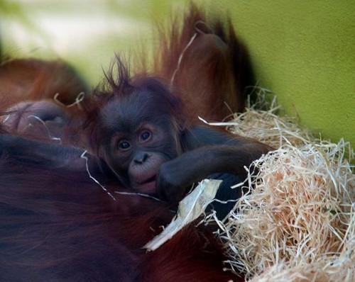 Informasjon om baby orangutanger