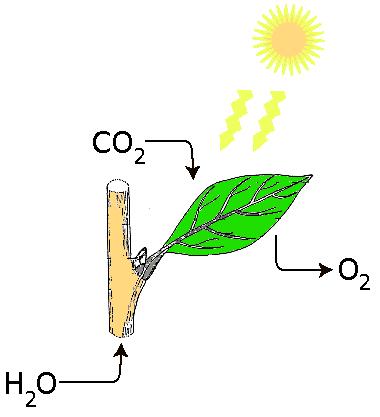 De tre stadier av Fotosyntese