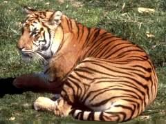 Hvor fort en Tiger Run?
