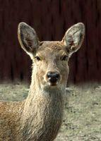 Hvordan Cape en Deer