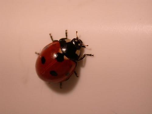 Hvordan lage en Ladybug Habitat