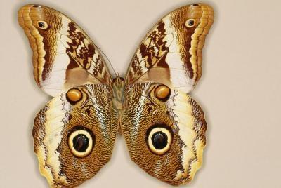 Hvordan identifisere en gulbrun Moth
