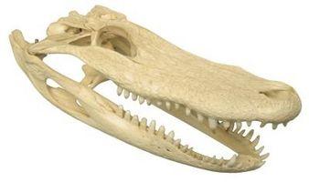 Hvor å Feilfri en Alligator Skull