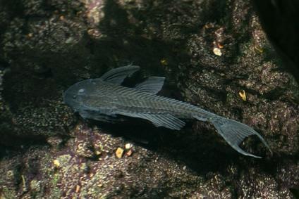 Hvordan Motor Oil Kills Fish