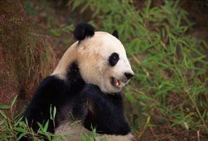 Hvordan Spot en falsk 1999 Large Dato Silver Panda