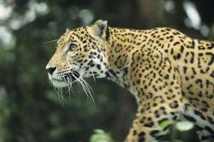 Informasjon om Jaguars for Kids