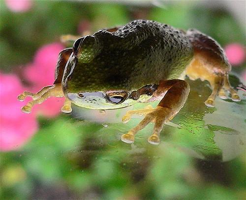 Deler av en Frog Muskelsystemet