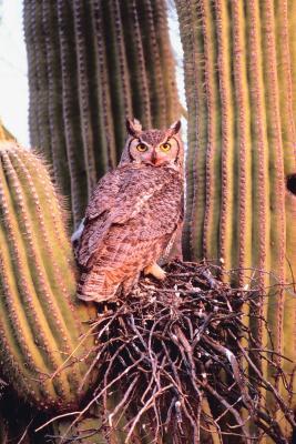 Fordeler med den store Horned Owl på økosystemet