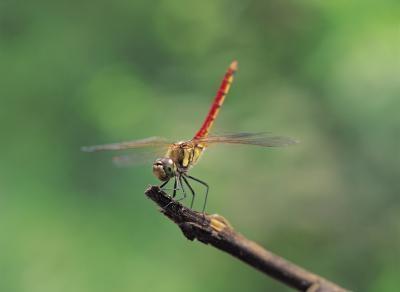 Dragonfly Kjennetegn