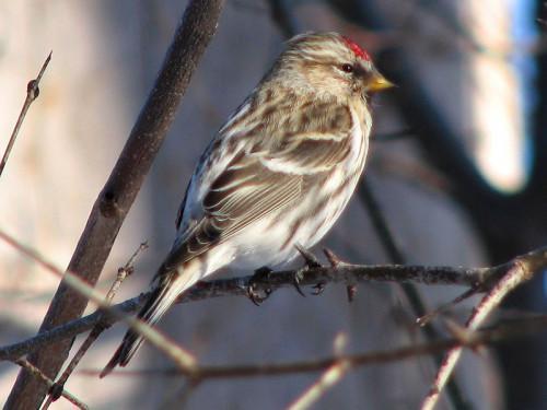 Red Head Bird Identification