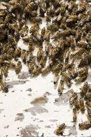 Hvordan identifisere Bees, veps og Hornets