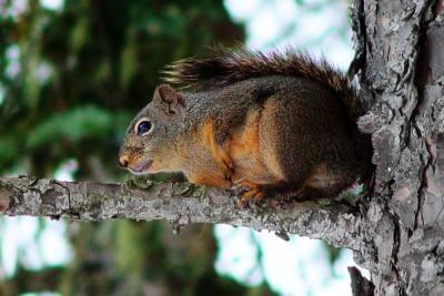 Hvordan Tan Squirrel Skins