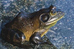 Hvordan skille mellom en Bullfrog og en grønn frosk