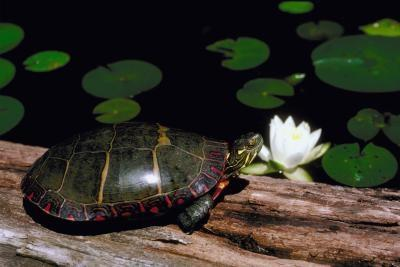 Painted Turtle paring vaner
