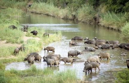 Hva Dyr Gjør Lions Hunt?
