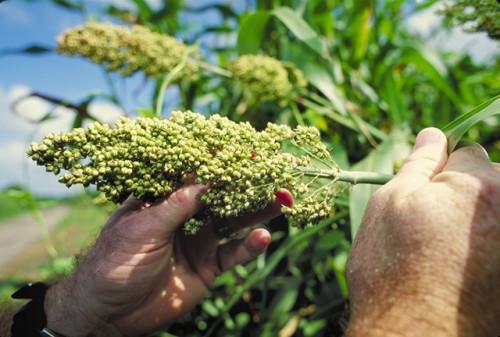 Hvordan få mat fra en Sorghum Plant