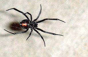 Typer av giftige edderkopper