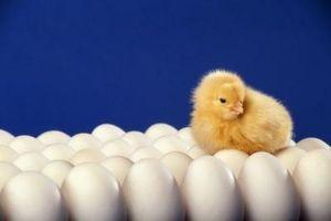 Hvordan klekke en kylling Egg med en lampe