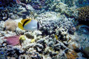 Hva er Tube-Like dyr funnet i korallrev?