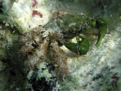 Hvordan fange blå krabber i South Australia