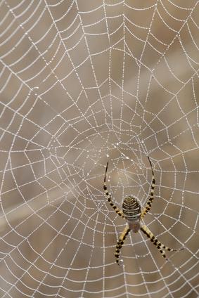 Giftige edderkopper i Afrika