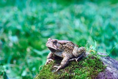 Typer Frogs Native til Pennsylvania